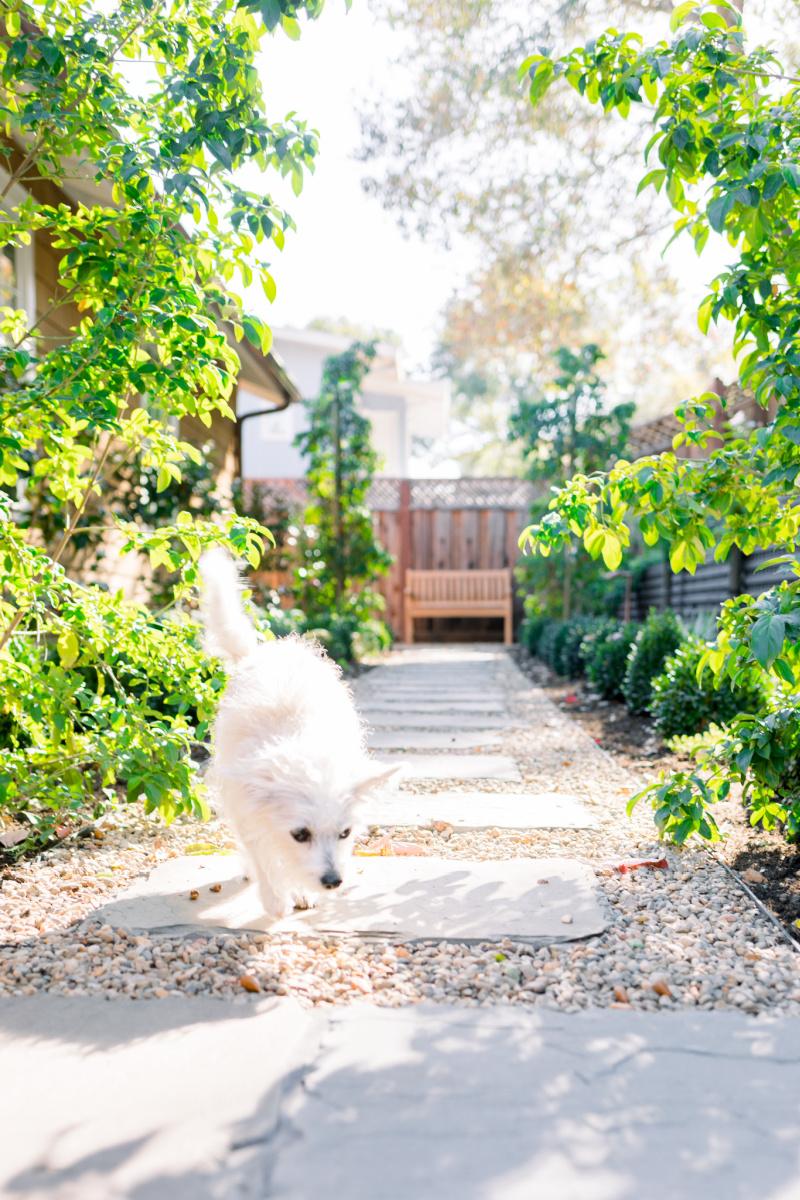 Dog walking down garden path