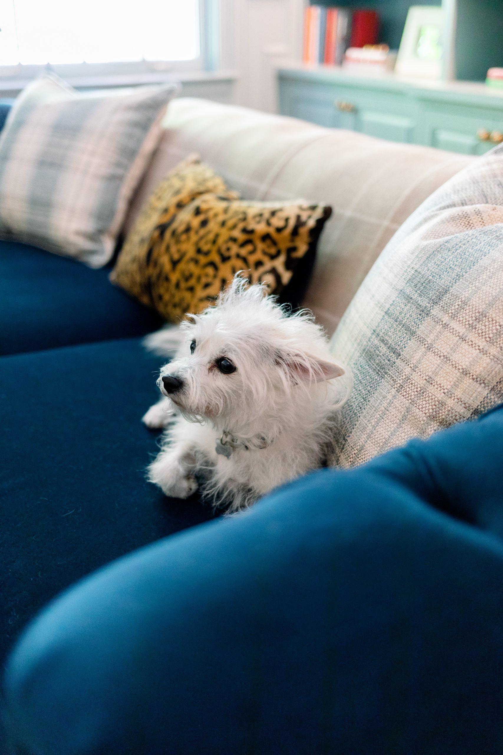 Little dog on blue velvet sofa